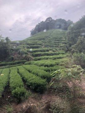 Plantacja herbaty w Longjing
