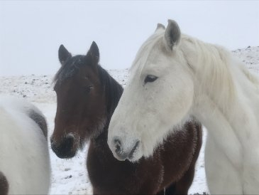 Konie w Wyoming nie boją się mrozu - minus 20 stopni.